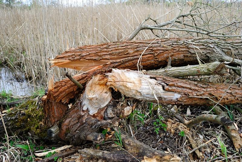 Łęgi Odrzańskie - ślady działalności bobrów