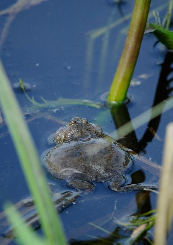 Łęgi Odrzańskie - żaba