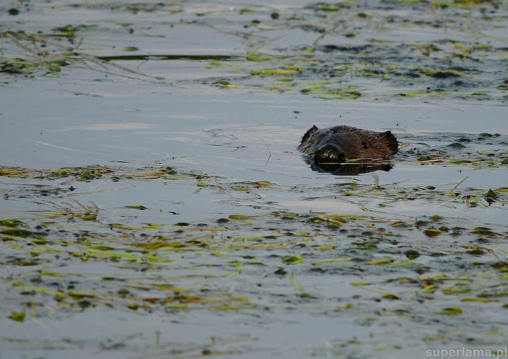 Łęgi Odrzańskie - towarzysz kąpieli-bóbr-bobry
