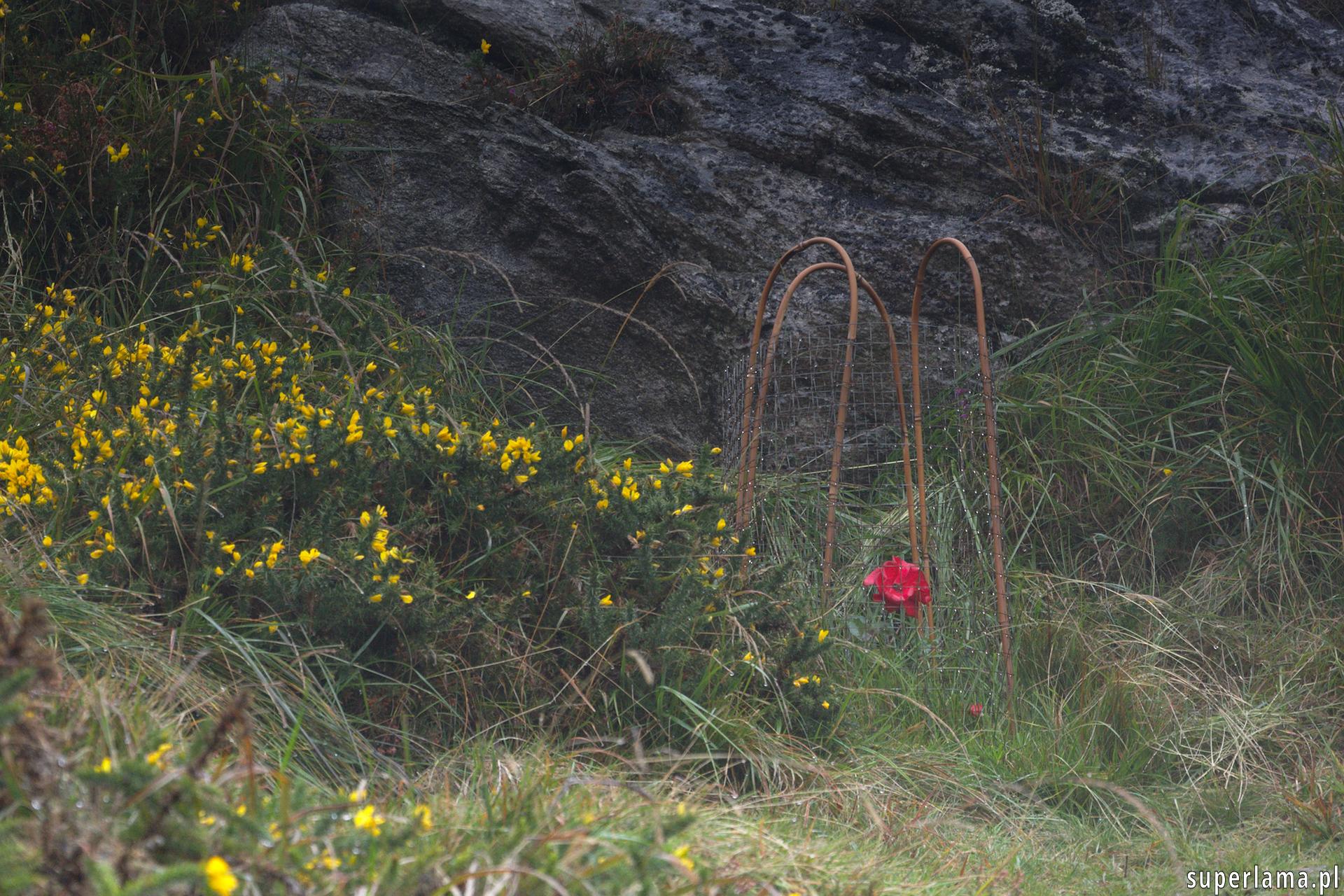 Rośliny pod ochroną w Irlandii, Wicklow