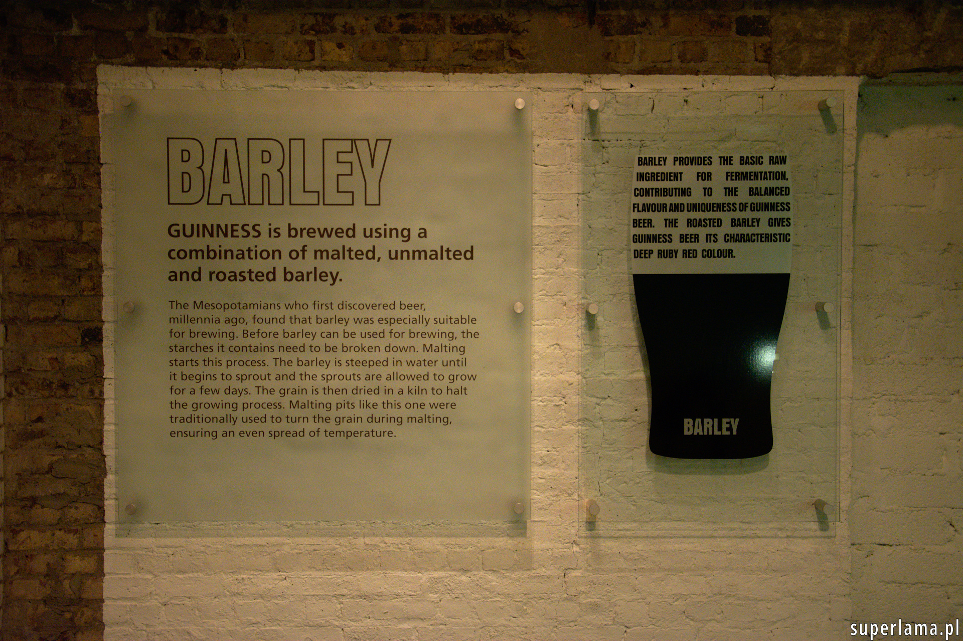 guinness barley - jęczmień